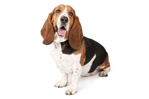 Все породы собак.Бассет хаунд(Basset Hound) - YouTube   400x600